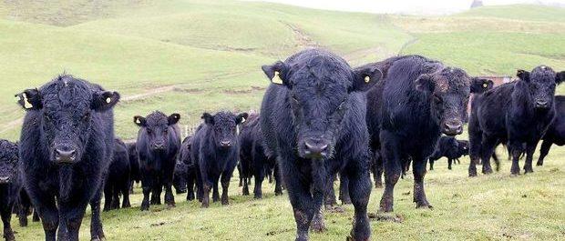 Homekill beef