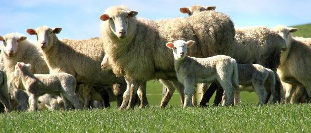 Homekill lamb